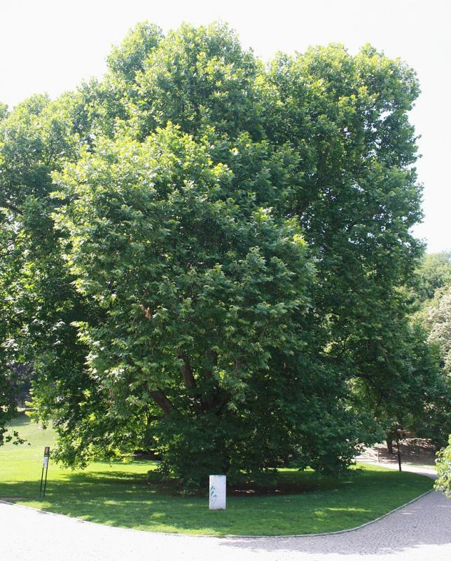Památný platan javorolistý v Kinského zahradě v Praze