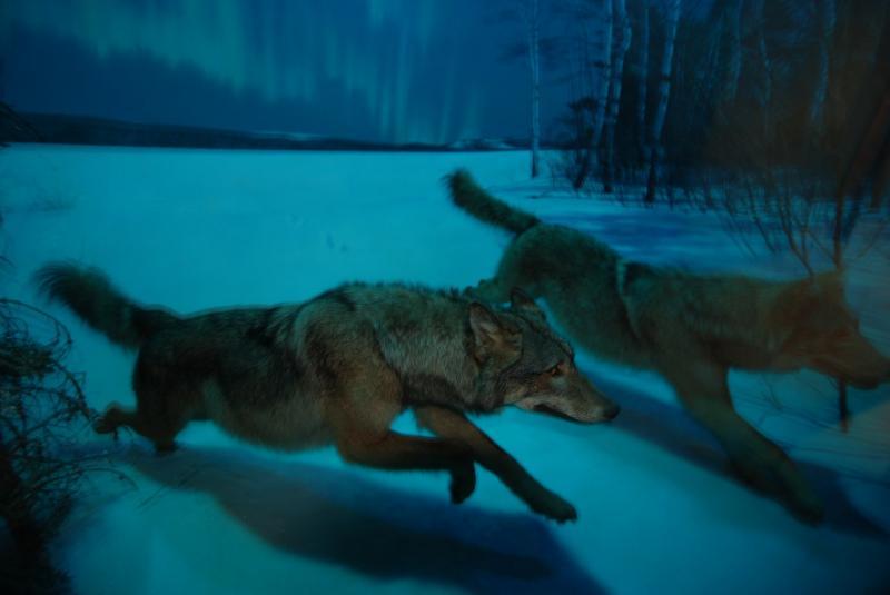 Vlci v zimě